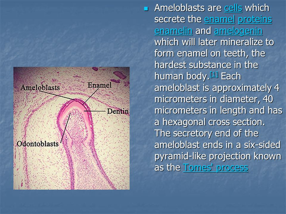 Ameloblasts are cells which secrete the enamel proteins enamelin and amelogenin which will later mineralize to form enamel on teeth, the hardest substance in the human body.[1] Each ameloblast is approximately 4 micrometers in diameter, 40 micrometers in length and has a hexagonal cross section.